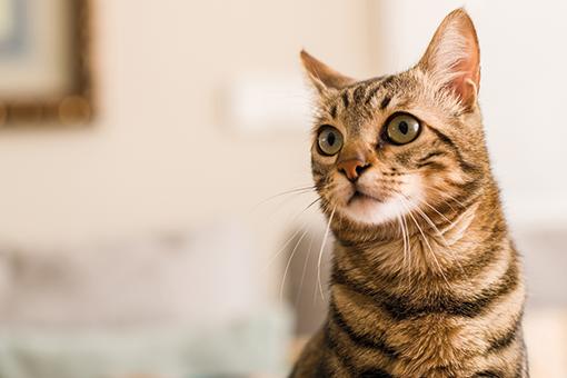sintomas de diabetes em gato