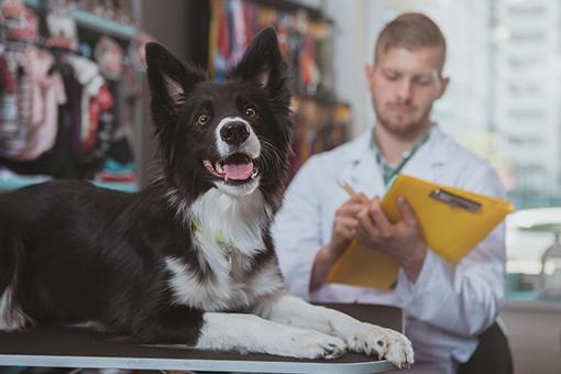 veterinário examinando doença hepática em cães