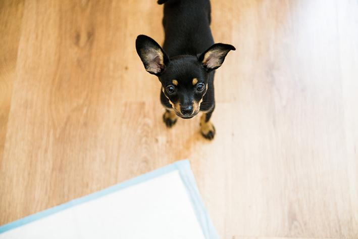 cachorro que sabe fazer as necessidades no lugar certo