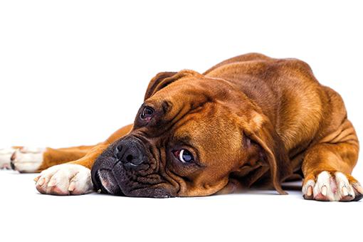 sintomas da gastroenterite em cães