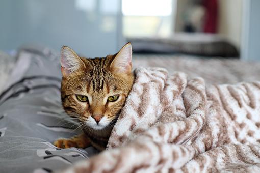 gato sendo examinado para lipidose hepatica felina