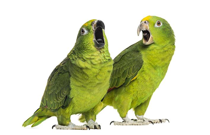 espécie de papagaio que fala