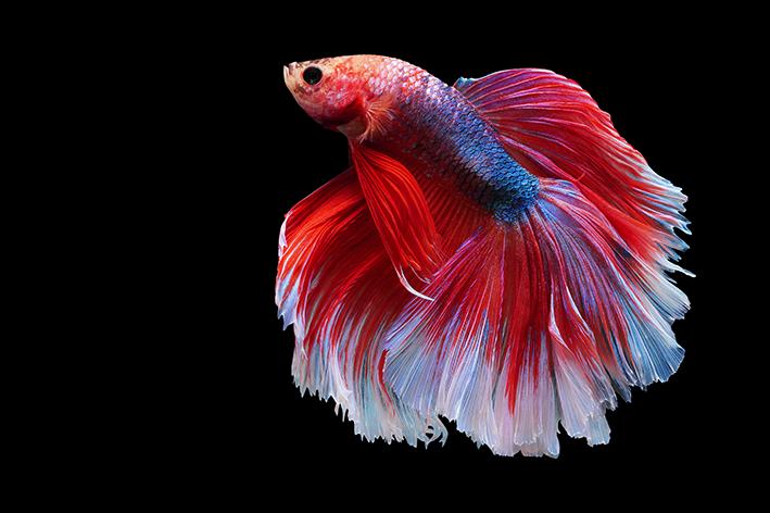 animais fofos como peixe betta