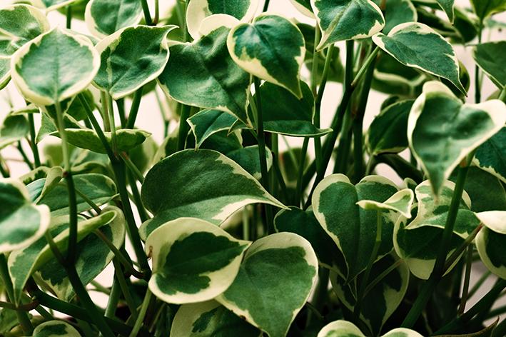 Foto aproximada de plantas de peperônia