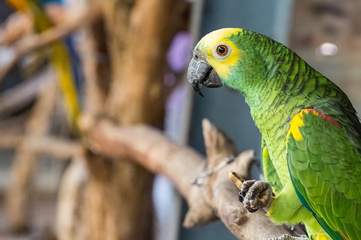 papagaio que fala sentado em um galho de árvore