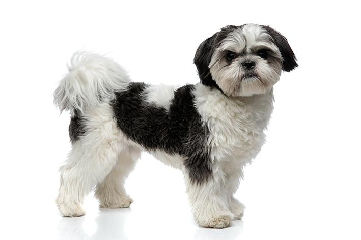 raça famosa de cachorro pequeno que não cresce