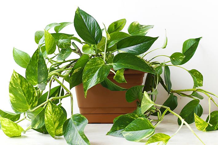 Planta Jiboia como cuidar