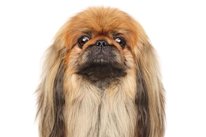 Cachorro Pequinês