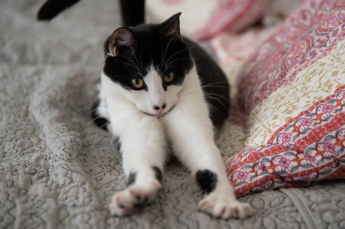 Gato branco e preto fazendo o movimento de amassar pãozinho