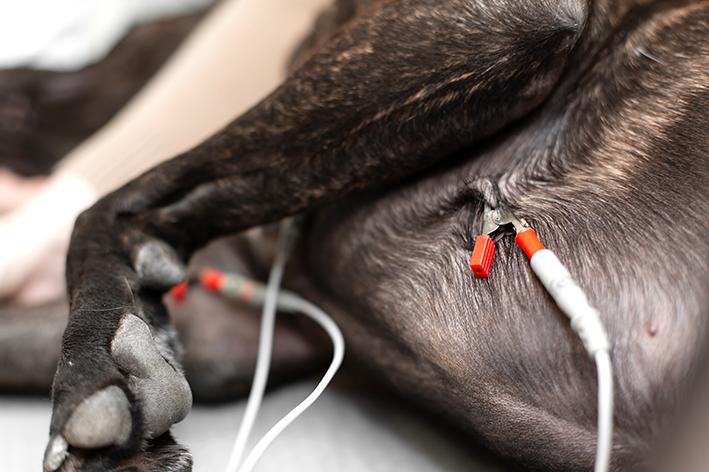 Diagnóstico e tratamento da arritmia cardíaca em cães