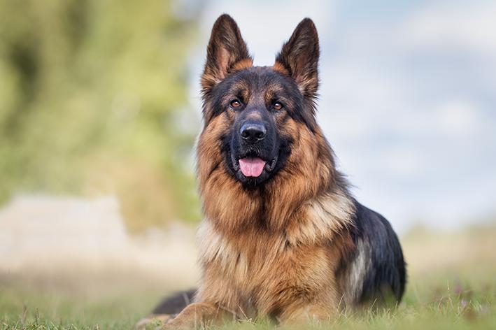 Cachorro pastor alemão: saiba mais sobre a raça