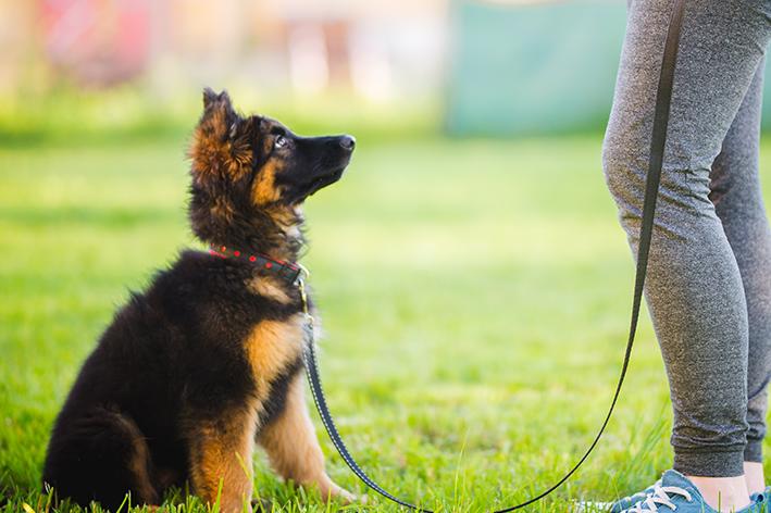 Características gerais do cachorro pastor alemão