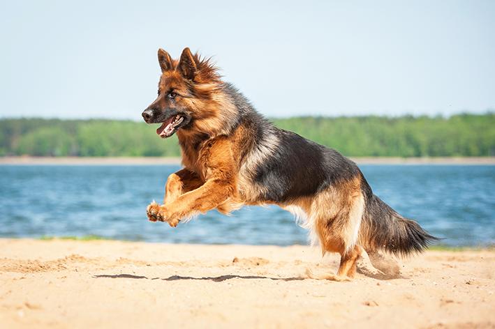 Cuidados com a saúde do cachorro pastor alemão