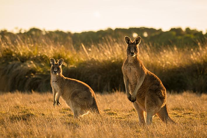 Canguru: saiba mais sobre esse animal incrível