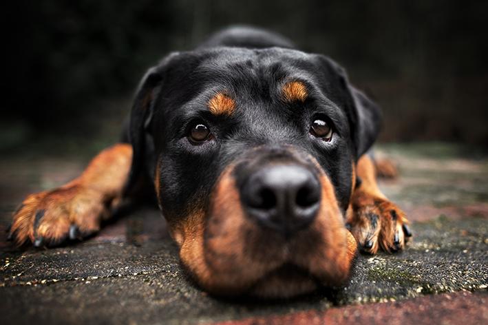 Cinomose canina: o que é e como proteger seu cachorro