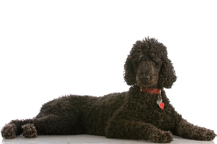 Cuidados com a pelagem do cachorro poodle
