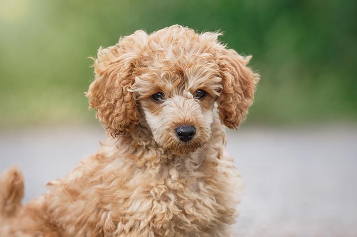 Origem e características gerais do cachorro poodle