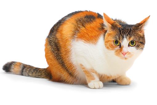 gato que precisa de uma ração para controle de peso