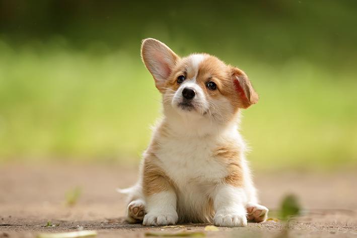 Filhotes de Corgi podem precisar de ajuda para manter as orelhas em pé