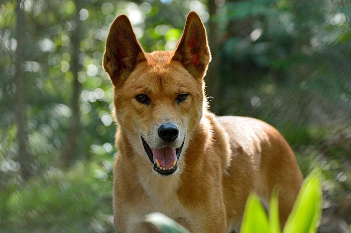 dingo cão selvagem australiano