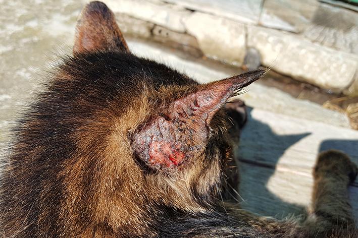 Esporotricose em cães e gatos: o que é, como prevenir e tratar