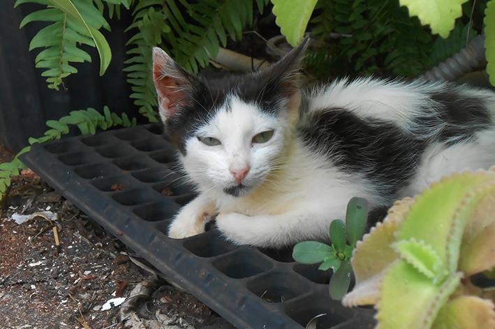 Cuidados extras com a esporotricose em gatos