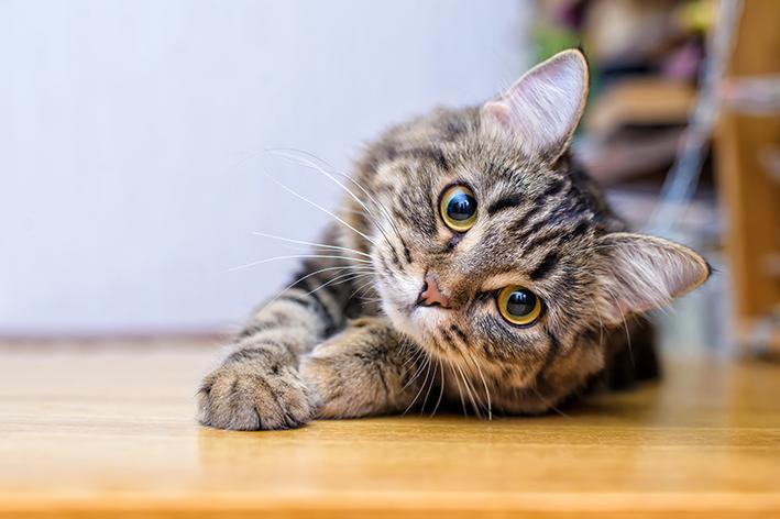 Linha Golden Seleção Natural para gatos