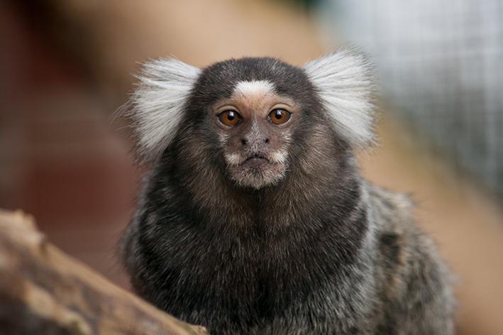 Macaco de estimação: tudo o que você precisa saber
