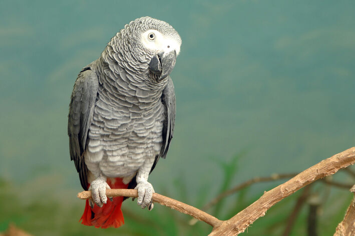 papagaio do Congo