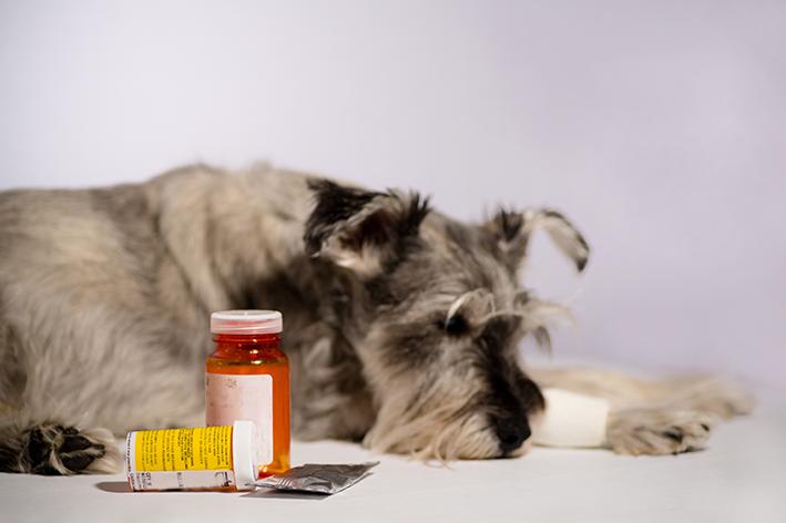 Perigos do uso de Bactrim e de outros medicamentos sem prescrição no seu cachorro