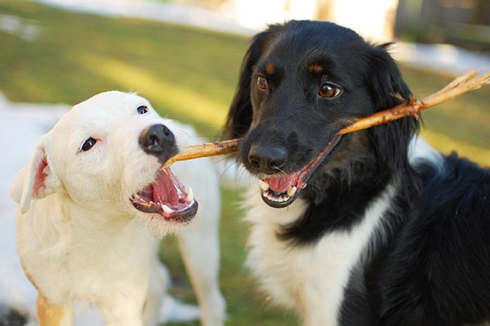 Por que cachorro gosta de brincar com graveto?