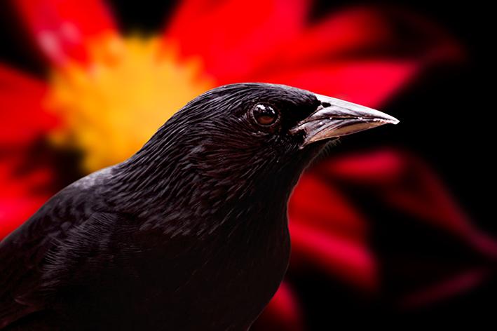 Qual é o pássaro preto?