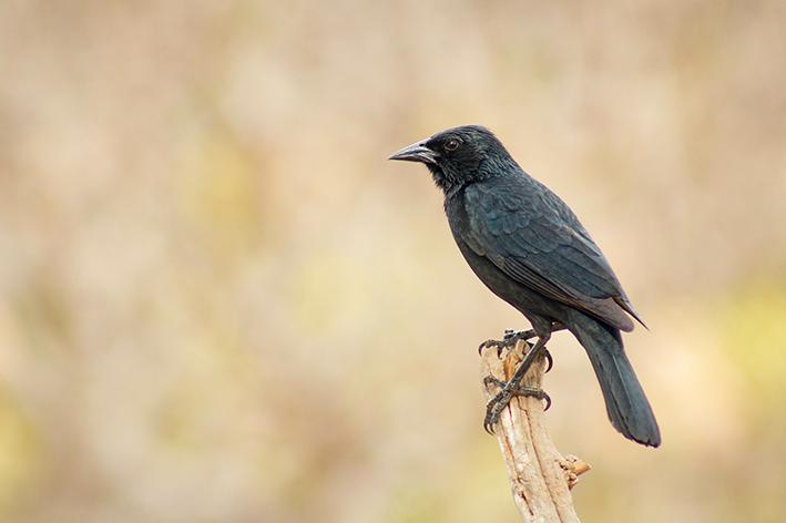A criação do pássaro preto
