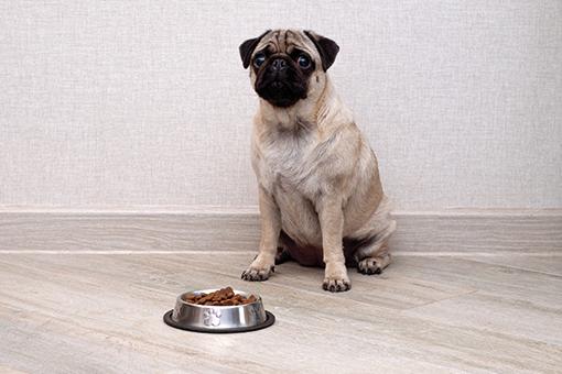 cachorro esperando para comer ração hipoalergênica