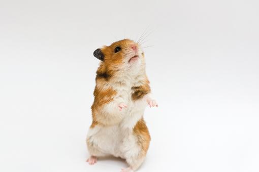 dicas de nomes para hamster