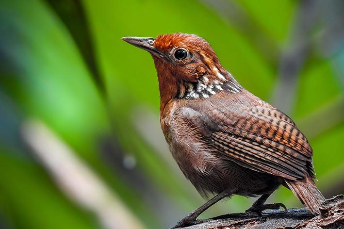 Uirapuru: o pássaro e suas lendas