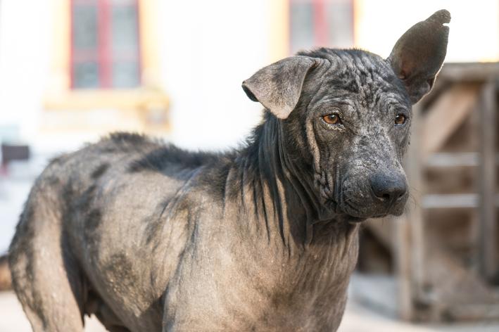 cão com alopecia canina