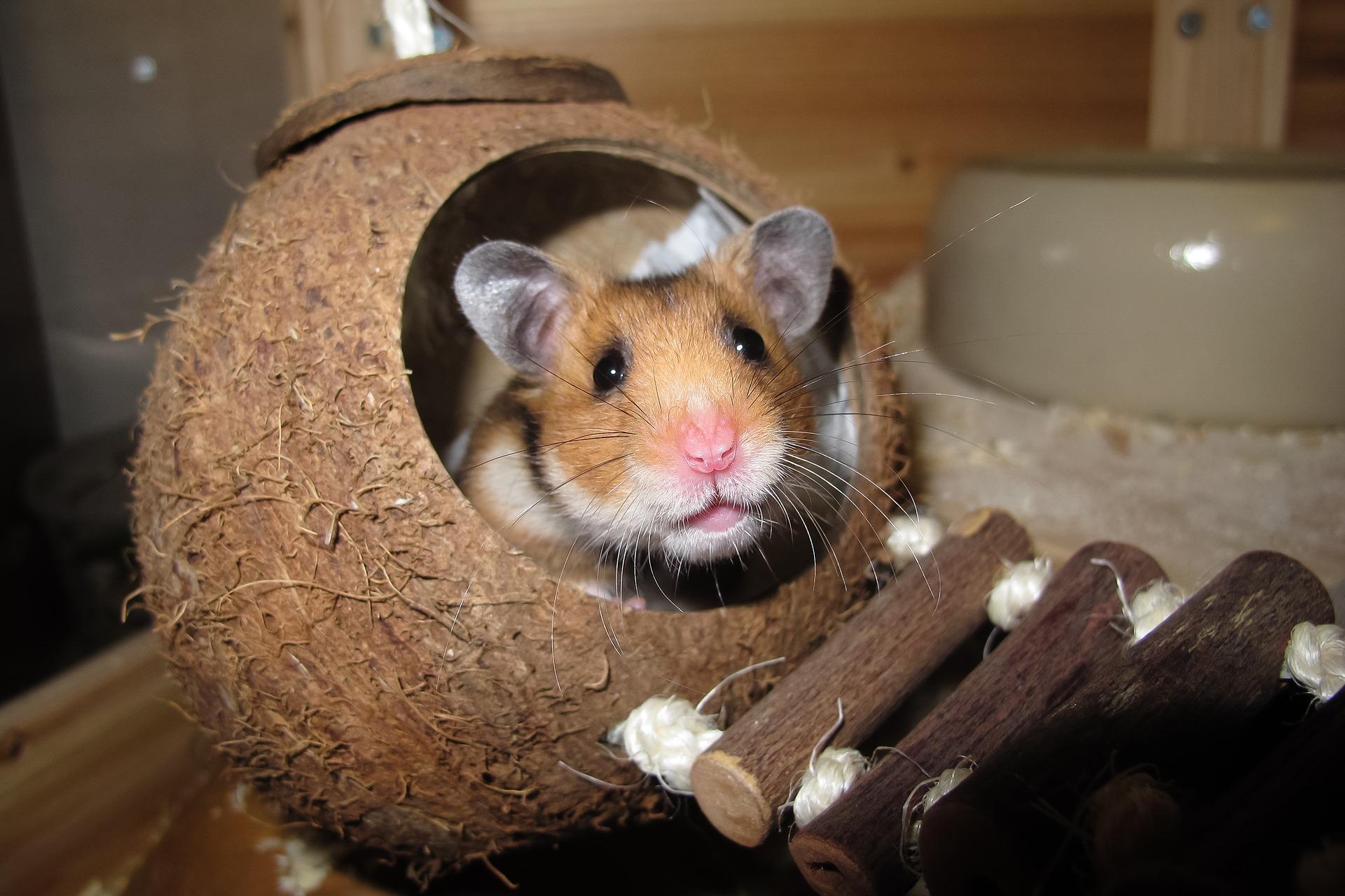 brinquedo de madeira para hamster sírio