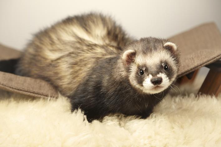 Gaiola, higiene e alimentação do ferret