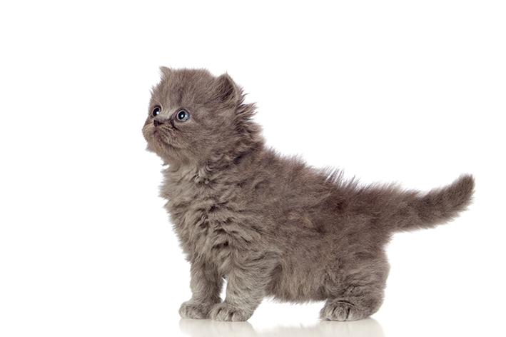 Gato Angora filhote