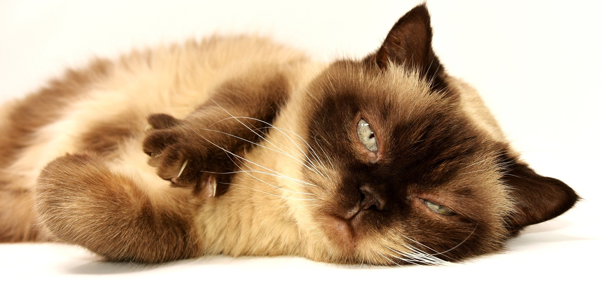 Gato com síndrome de Down deitado