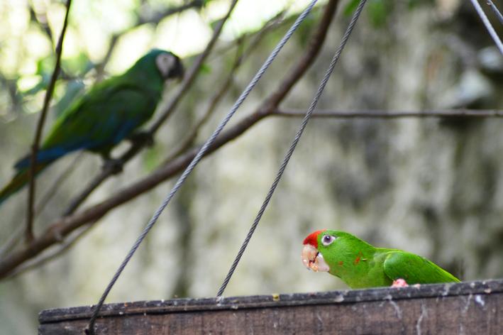 papagaio-do-mangue