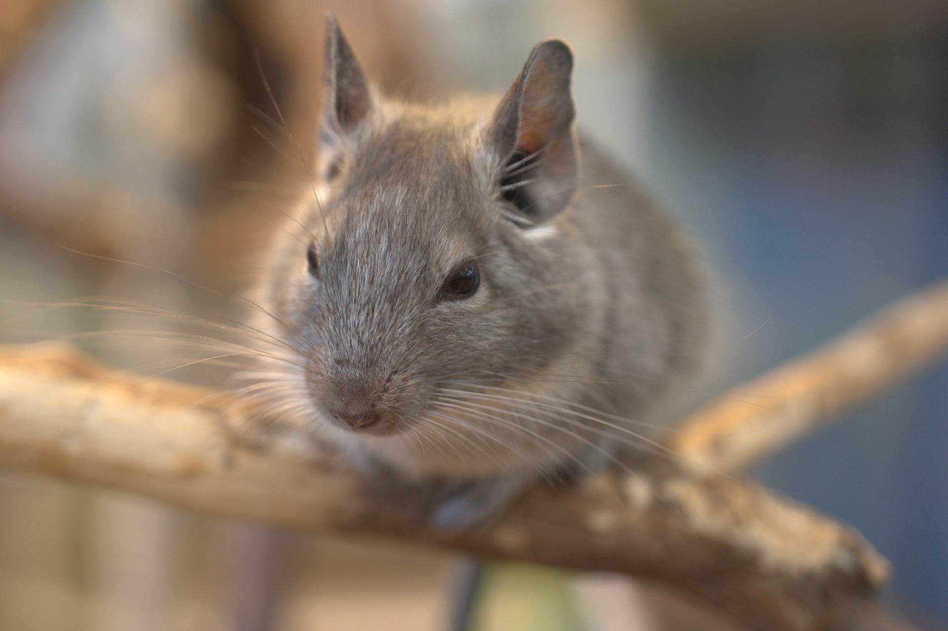 Chinchila é um dos roedores de estimação preferidos dos brasileiros