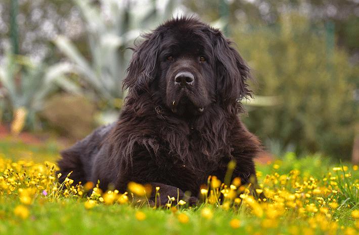 Cachorro terra nova adulto