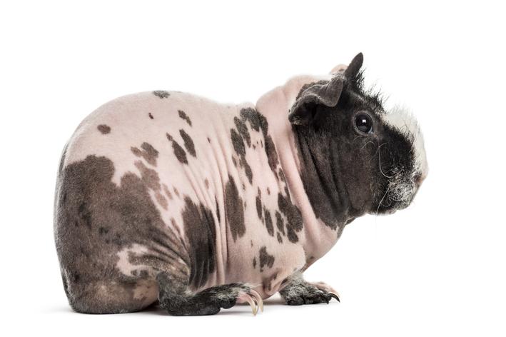 porquinho da india pelado