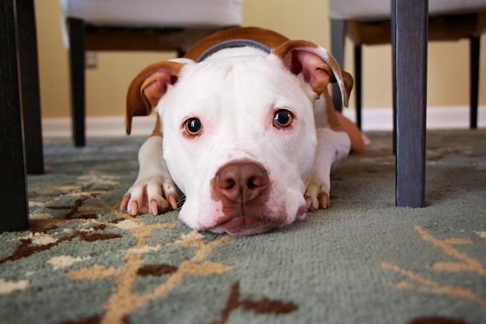 Quais os melhores nomes para pitbull?