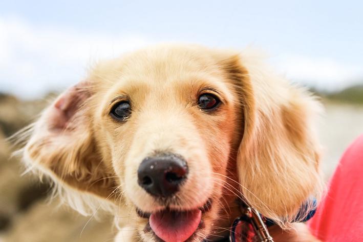 Cachorro bege feliz, característica do bem-estar animal