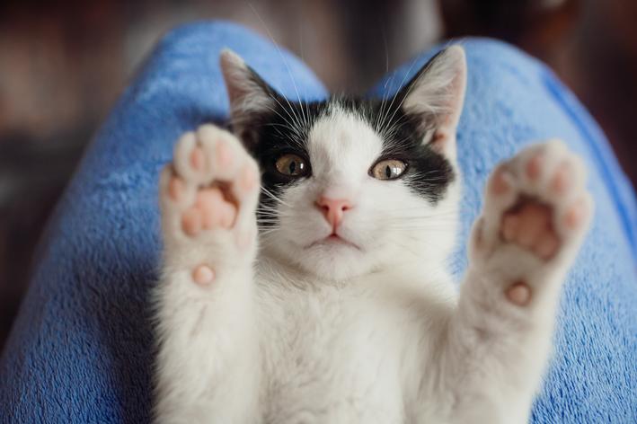 Gato branco e preto com as patas levantadas, brincando no colo do tutor, que garante seu bem-estar animal