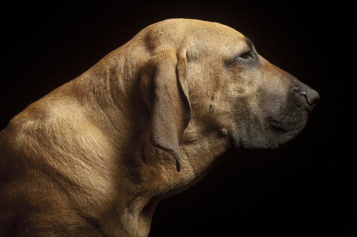 cachorro-brasileiro