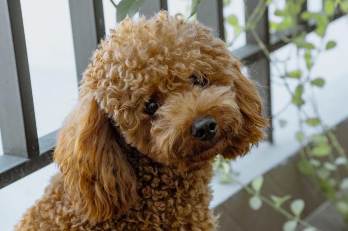 Cachorro pequeno peludo: Poodle toy